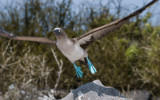 Blue-footed Booby (Sula nebouxii) 1