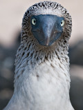 Blue-footed Booby (Sula nebouxii) 2