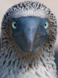 Blue-footed Booby (Sula nebouxii) 3