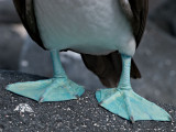 Blue-footed Booby Feet (Sula nebouxii)