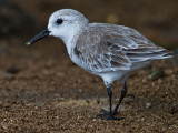 Sanderling-Non Breeding Plumage (Calidris alba)
