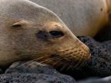 Female Galápagos Sea Lion (Zalophus californianus) 9