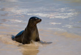 Female Galápagos Sea Lion (Zalophus californianus) 10