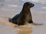 Female Galápagos Sea Lion (Zalophus californianus) 11