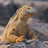 Santa Fé Land Iguana (Conolophus Pallidus) 1