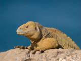 Land Iguana (Conolophus Pallidus) 3