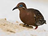 Galápagos Dove (Zenaida galapagoensis) 3