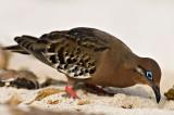 Galápagos Dove (Zenaida galapagoensis) 2