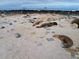Female Galápagos Sea Lions Lounging (Zalophus californianus)