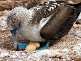 Blue-footed Booby Nesting (Sula nebouxii) 2
