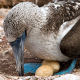 Blue-footed Booby Nesting (Sula nebouxii) 1