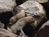 Female Galápagos Fur Seal and Pup (Arctocephalus galapagoensis) 3