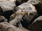 Female Galápagos Fur Seal and Pup (Arctocephalus galapagoensis) 2