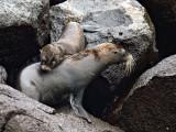 Female Galápagos Fur Seal and Pup (Arctocephalus galapagoensis) 1