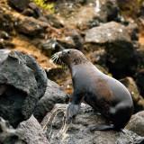 Galápagos Fur Seal Pup (Arctocephalus galapagoensis)