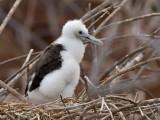 Great Frigatebird Chick (Fregata minor)