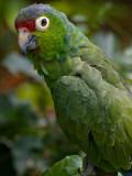 Mealy Parrot (Amazonia farinosa chapmani) 4
