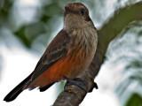 Female Vermillion Flycatcher (Pyrocephalus rubinus) 2