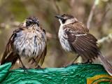 Galápagos Mockingbirds (Nesomimus parvulus) 4