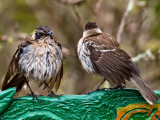 Galápagos Mockingbirds (Nesomimus parvulus) 3