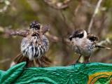 Galápagos Mockingbirds (Nesomimus parvulus) 1