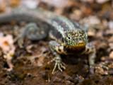 Immature Galápagos Lava Lizard (Microlophus albemarlensis) ?