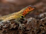 Female Galápagos Lava Lizard (Microlophus albemarlensis) 2