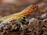 Female Galápagos Lava Lizard (Microlophus albemarlensis) 1