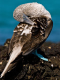 Blue-footed Booby (Sula nebouxii) 6