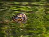Black Turtle (Chelonia mydas)