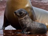 Galápagos Sea Lion Pup (Zalophus californianus) 6