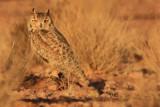 Pharoa or Desert Eagle Owl - Bubo (bubo) scalaphus - Buho Real del desierto - Duc del desert