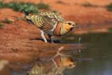 Birdwatching in Monegros, Belchite steppes, Planeron, Lomaza, Quinto (Zaragoza, Huesca, Aragon)