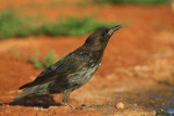 Young Spotless Starling - Sturnus unicolos - Estornell negre jove - Estornino negro joven