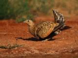 Black-bellied Sandgrouse - Pterocles orientalis - Xurra - Ganga Ortega