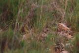 Dupont's Lark mouse behaviour - Chersophilus duponti - Alondra Ricoti o de Dupont como un raton - Alosa Becuda - Duponts Lærke