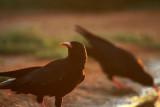 Red-billed Chough - Pyrrocorax Pyrrocorax - Gralla de bec-vermell - Chova piquiroja