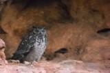 Desert eagle Owl