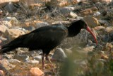 Bald ibis - Geronthicus eremita - Ibis eremita - Ibis calvo