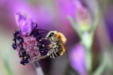 Honey Bee - abeja