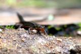 Bosca's newt - Triturus boscaii - Trito - Triton