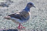 Turtle Dove - Streptopelia turtur - Tortora vulgar - Tortola