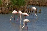 Greater Flamingo - Phoenicopterus ruber roseus - Flamenco (ave) - Flamenc (ocell)