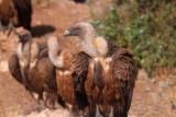 Ports Griffon Vulture