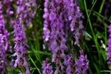Ports - Roboust marsh orchid