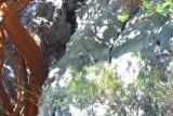 Brown Fish Owl - Ketupa zeylonensis - Duc pescador - Buho pescador