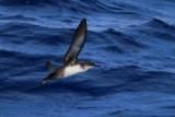 Balearic Sheawater - Puffinus mauritanicus - Pardela Balear - Baldriga balear