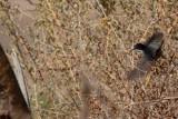 Arabian Warbler or Red Sea Warbler Sylvia leucomelaena