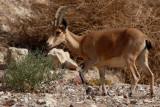 Female Nubian ibex Capra nubiana