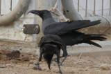 House Crow Corvus splendens aberrant